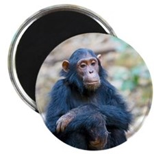 Relaxing Chimp Magnet