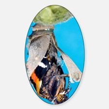 Emerging red admiral butterfly Decal