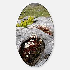 Saxifraga rosacea ssp. rosacea Decal