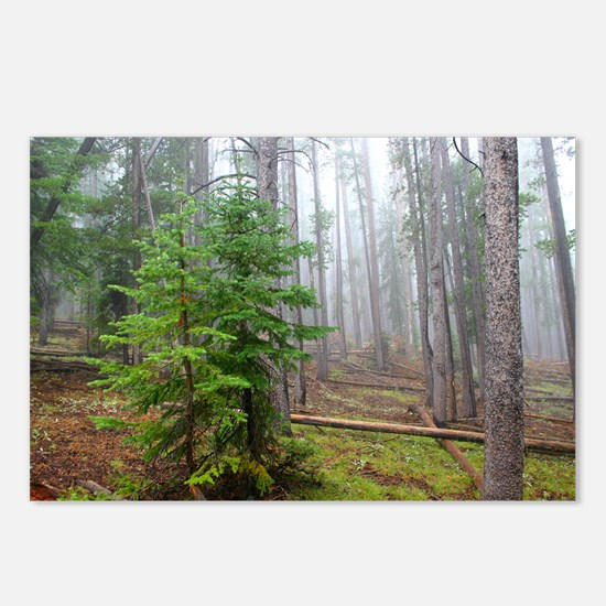 Mist in pine forest Postcards (Package of 8)