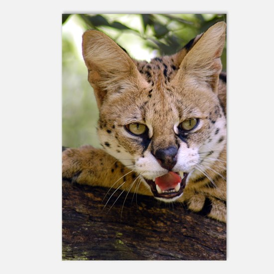 serval 013 Postcards (Package of 8)