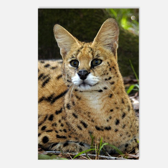 serval 015 Postcards (Package of 8)