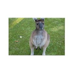 Baby Kangaroo Rectangle Magnet (10 pack)