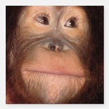"""orangutan Square Car Magnet 3"""" x 3"""""""