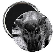 (2) Evil Pig Magnet