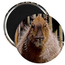 (15) Capybara Staring Magnet