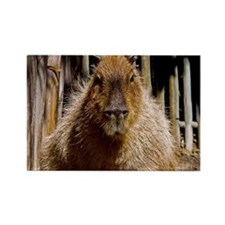 (12) Capybara Staring Rectangle Magnet