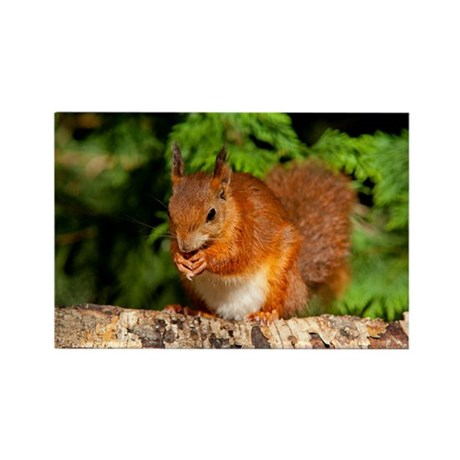 Red Squirrel 1 Magnets
