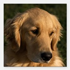 "(15s) golden retriever h Square Car Magnet 3"" x 3"""