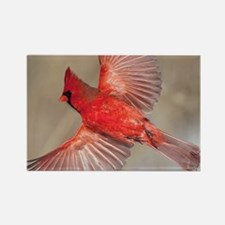 Male cardinal Rectangle Magnet
