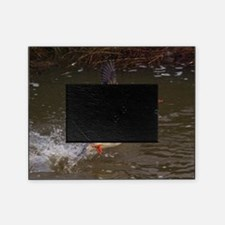 (6) mergansers take off Picture Frame
