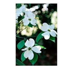 dogwood 4 Postcards (Package of 8)