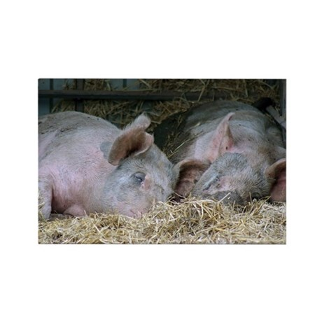 2 Sleepy Pigs Rectangle Magnet (100 pack)