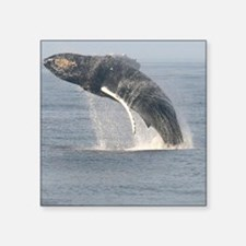 "humpbackbreach-cstr Square Sticker 3"" x 3"""
