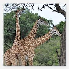 "three giraffes Square Car Magnet 3"" x 3"""