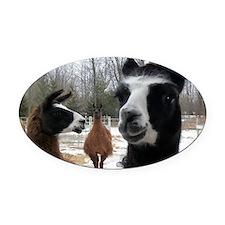 Llamas larger Oval Car Magnet