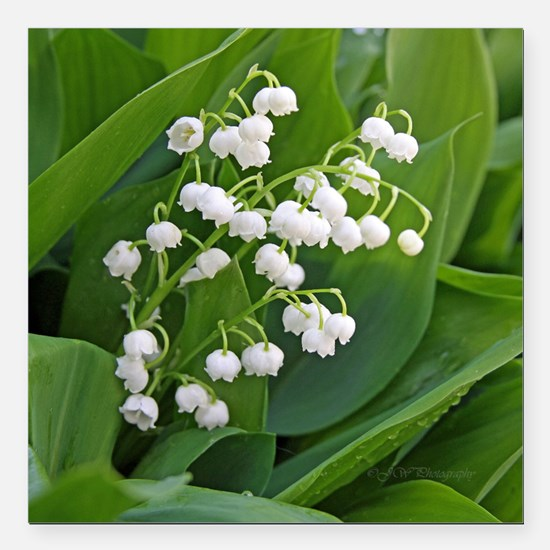 """lilyofthevalley Square Car Magnet 3"""" x 3"""""""