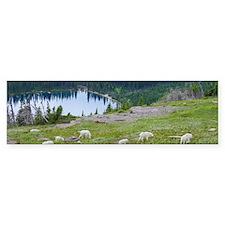Goats at Hidden Lake Bumper Sticker