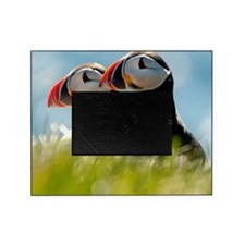 Puffin Pair 14x14 600 dpi Picture Frame