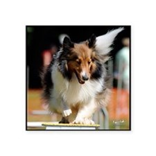 "Shetland Sheedog Agility Be Square Sticker 3"" x 3"""