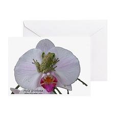 Hyla gratiosa trans copy Greeting Card