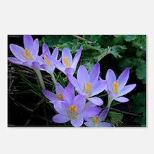 Violet Crocus Postcards (Package of 8)