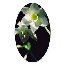 Amazon Lily Decal