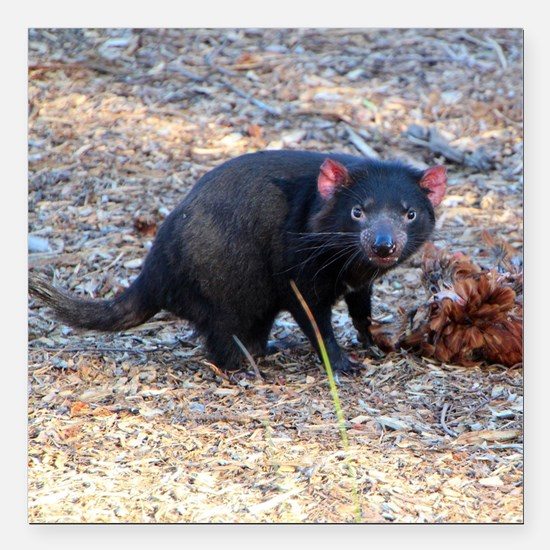 "Hungry Tasmanian Devil Square Car Magnet 3"" x 3"""