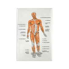 Muscles anatomy body Magnets