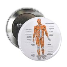"""Muscles anatomy body 2.25"""" Button"""