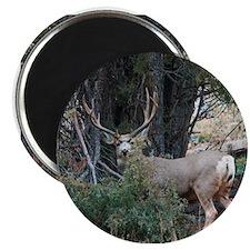 Mule deer spur buck Magnet