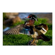 (12) Wood Duck Wing Postcards (Package of 8)