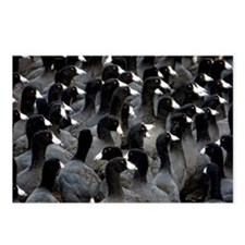 Helaine's Coots Postcards (Package Of 8)