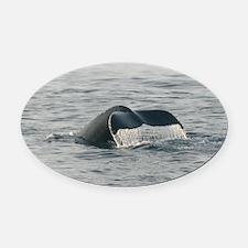 Humpback-MP Oval Car Magnet