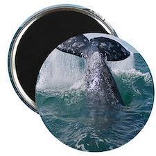Copy of 1st close up whale!-Cstr Magnet