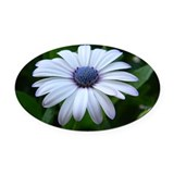 White with blue daisy Oval Car Magnets