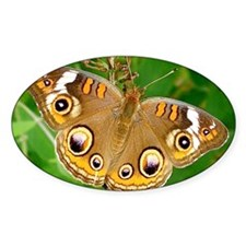 Buckeye Butterfly Photography Note  Decal