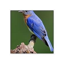 "Eastern Bluebird Square Sticker 3"" x 3"""