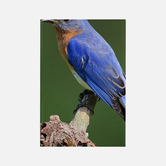 Eastern Bluebird Rectangle Magnet