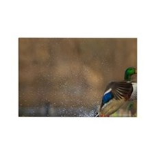 Washington. Male Mallard blasts o Rectangle Magnet