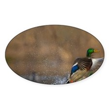 Washington. Male Mallard blasts off Decal