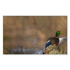 Washington. Male Mallard blast Decal
