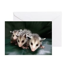 opossum Greeting Cards (Pk of 10)