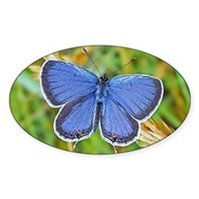 Eastern Tailed Blue Butterfly, Cale Decal