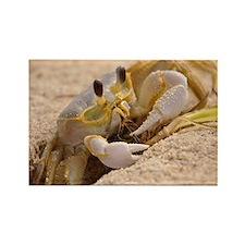Fiddler Crab Rectangle Magnet