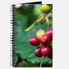 Coffee berries grow on a coffee plant on t Journal