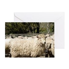 Sheep in Farmyard, Kaikoura, Marlbor Greeting Card