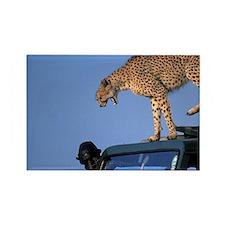 Adult Female Cheetah (Acinonyx ju Rectangle Magnet