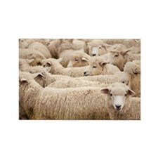 Flock of sheep, North Island, New Rectangle Magnet