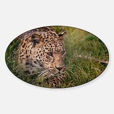 Amur Leopard Decal
